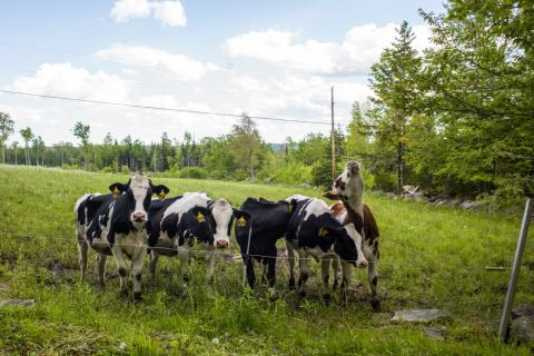 Cows Whitingham Vermont
